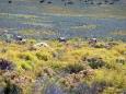 gemsbok-oryx-gazella-02