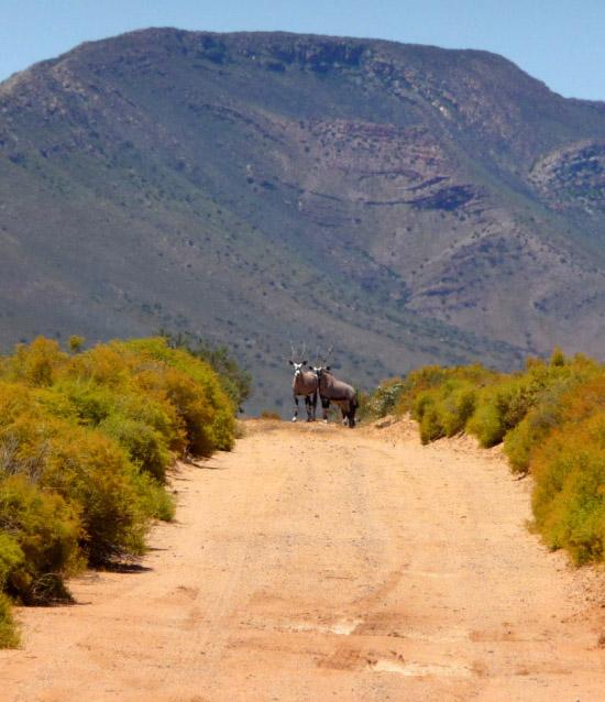 Gemsbokken Oryx Gazella